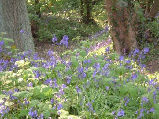 7. Bluebell Wood